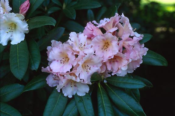 Copyright 2002 Downs' Rhododendrons